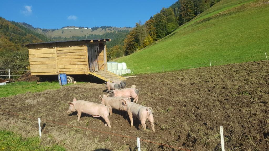 Super Biobetrieb-Eliesenhof: Bio Schweinefleisch Ab Hof kaufen | Kuchl #VY_17